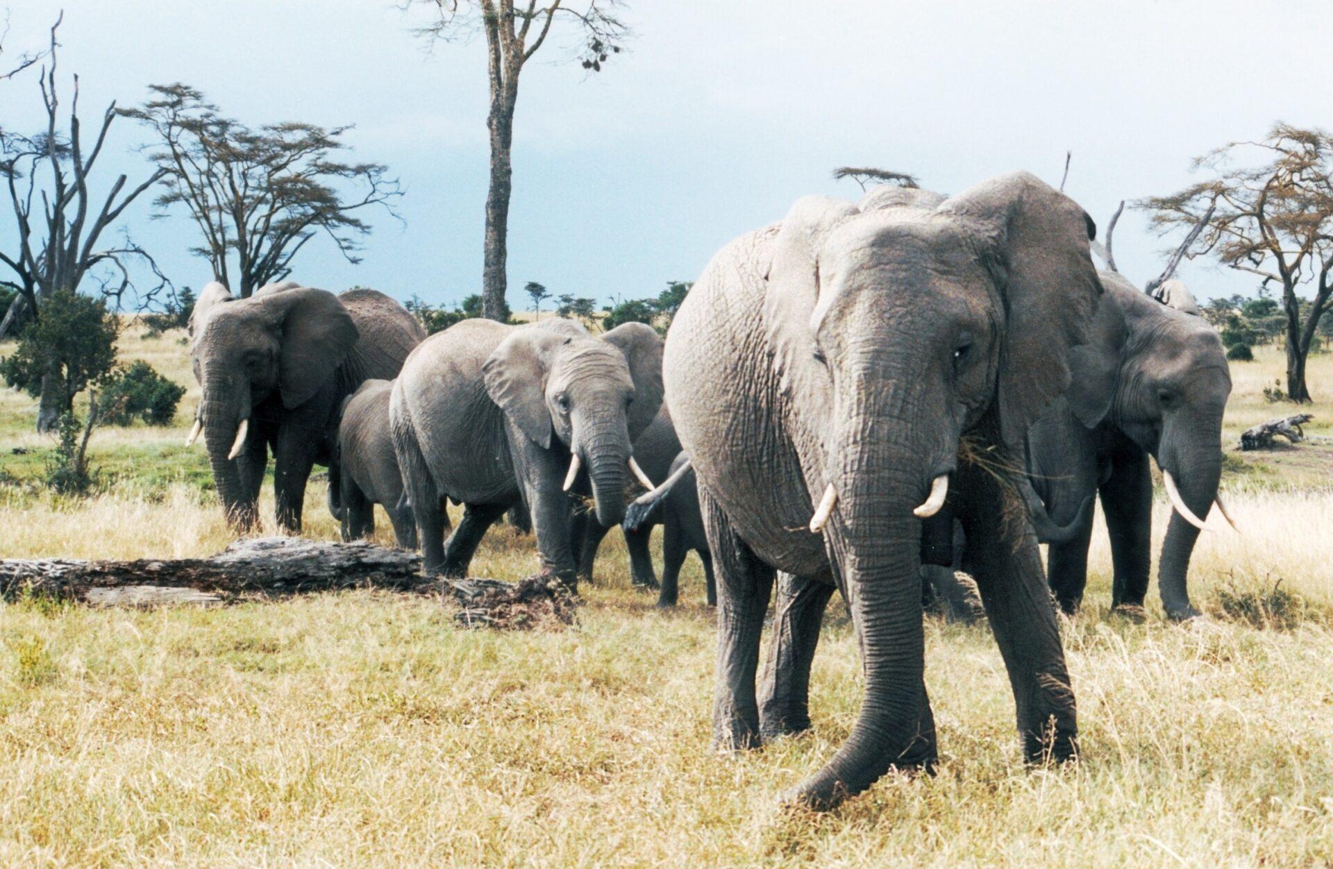 Sloni scaled